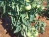 susa-pomidori-bujaju