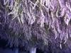 susenje-lavandinog-cvijeta-2013